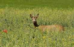 0045_Chevreuil_colza_Nature_Jacques-de-Givry