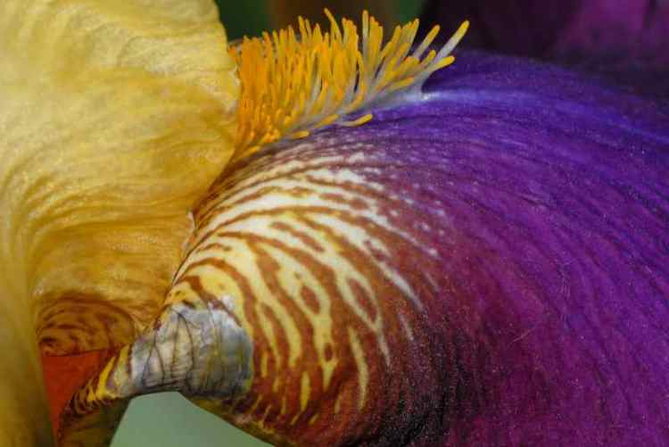 0047_iris_Nature_Jacques-de-Givry