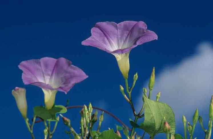 0048_fleurs-de-liseron_convolvulacees_Nature_Jacques-de-Givry