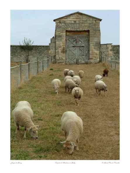 0049_Moutons_Porte-de-Maintenon_ Gally_Versailles_Nature_Jacques-de-Givry
