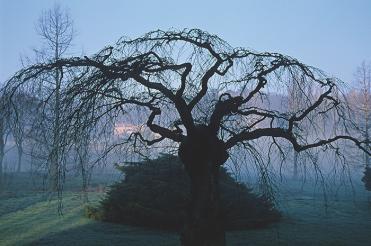 0154_Cerisier Japonais_arboretum Vallée aux Loups_Châtenay_Hauts-de-Seine_Jacques de Givry
